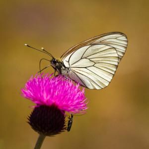Groot geaderd witje vlinder drinkend op een distelbloem
